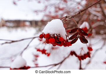 red mountain ash in winter