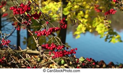 red mountain ash on branches - Bunches of red mountain ash...