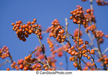 Red Mountain Ash with Blue Sky Background Closeup