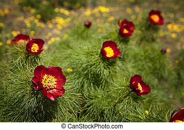Red mountain peonies (Paeonia tenuifolia) on a background of...