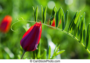 Red mountain tulip against a bright green grass. In the drops of morning dew. Spring background. Natural spring background.