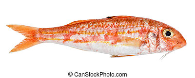 Red mullet isolated on white background. Fresh fish