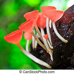 Red mushroom cup mushroom or champagne mushrooms thailand