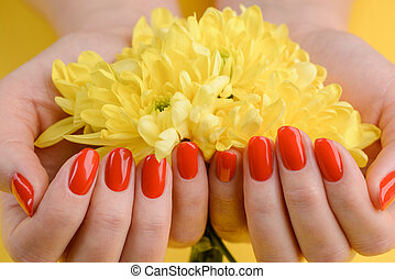 Red nails and yellow gerberas. Beautiful composition of vivid colors. Groomed and healthy woman's hands.
