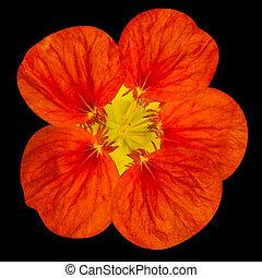 Red nasturtium flower Isolated on Black