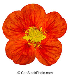 Red nasturtium flower Isolated on White