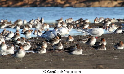 Red necked phalarope flock