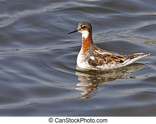 Red-necked Phalarope (Phalaropus lobatus) on artemia biomass...