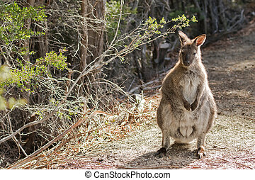red-necked, vallaby, stående, in, skog, in, tasmanien,...
