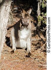 red-necked, vallaby, stående, rykta, itself, in, tasmanien,...