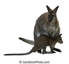 red-necked, wallaby, com, bebê