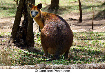 red-necked, wallaby