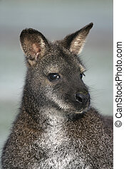 Red-necked wallaby, Macropus rufogriseus, single mammal head...