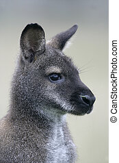 Red-necked wallaby, Macropus rufogriseus, single mammal on...