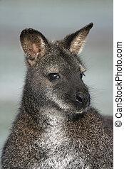 Red-necked wallaby, Macropus rufogriseus, single mammal head...