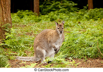 Wallaby - Red-necked Wallaby or Marcopus Rufogriseus on...