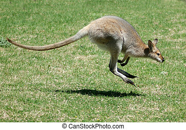 red-necked wallaby - Red-necked wallaby, Macropus ...