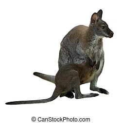 Red-necked wallaby with baby. Isolated over white background