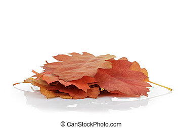 red oak autumn leaves, isolated on white background
