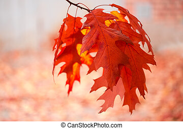 Red oak branch with autumn leaves hanging down, close-up