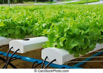 Red oak, green oak, cultivation hydroponics green vegetable in farm