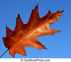 Red oak leaf - Northern red oak (Quercus rubra) - autumn...