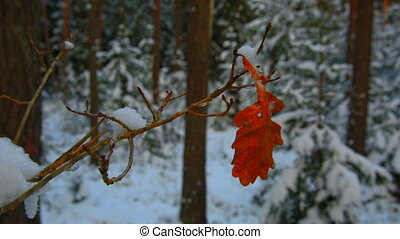 red oak leaf on a branch in winter forest.