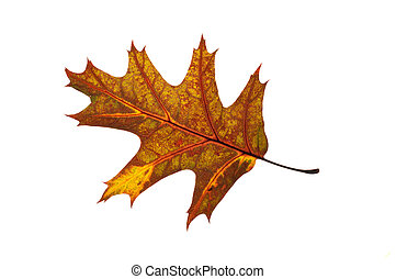 red oak leaf quercus rubra backlit detail isolated on white