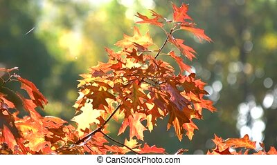 Red oak leaves in autumn. Green blurred background.