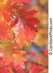 Red oak leaves in sunlight