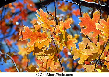 Red Oak Leaves - Brilliant Red and Yellow Autumn Oak Leaves...