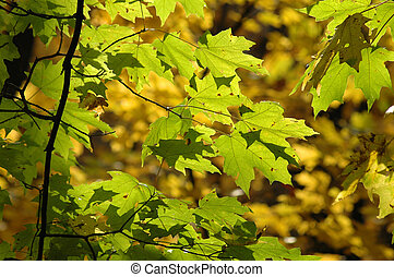 Red Oak leaves turning yellow