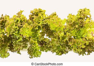 Red oak lettuce.