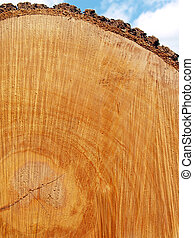 freshly-sawn end of felled red oak tree (Quercus rubra) showing growth rings, center, and bark