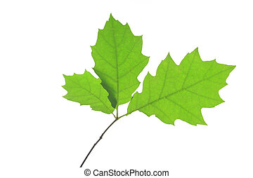 Red oak (Quercus rubra) - Leaves of red oak (Quercus rubra)...