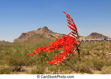 Red Ocotillo Flower in Organ Pipe Cactus National Monument...