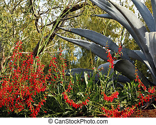 Red Ocotillo Flowers Fouquieria Spendens Green Agave Desert...