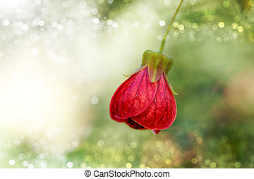 Red of Abutilon flower