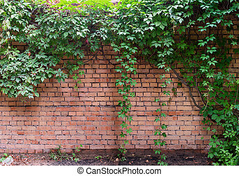 Red old brick wall with green ivy.