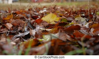 red old wet leaves lie on the ground autumn nature landscape...