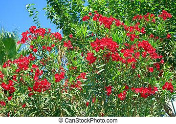 Red Oleander flowers on a blue sky background