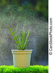 red onion plant with water spray in