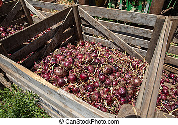 Red onions in a Wooden Crates in a field.