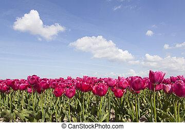 red or pink tulips in dutch flower field in noordoostpolder with blue sky