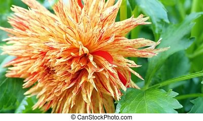 Red-orange dahlia close-up
