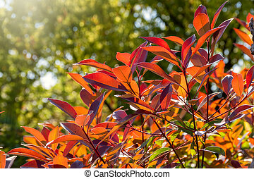 Red-orange leaves in the sun on a green background.