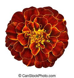 Red Orange Marigold Flower Isolated on White Background