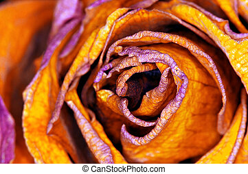 red-orange Rose - rote Rose - detail of yellow Rose - detail...