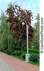 Red orange rowan berries on a tree against foliage