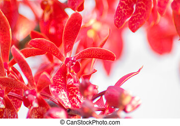 Red orchid flowers
